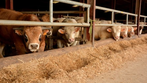 La coopérative Feder et AXEREAL s'alient pour renforcer la filière bovine