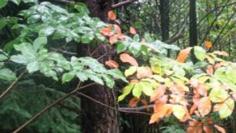 Du potentiel pour le bois de châtaignier