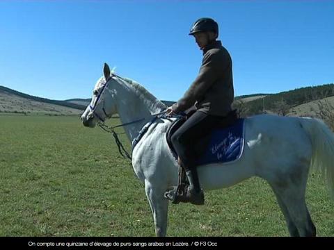La Lozère, terre d'endurance pour les chevaux purs sangs arabes